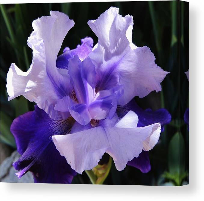 Iris Canvas Print featuring the photograph Purple Iris Bloom by David Knowles