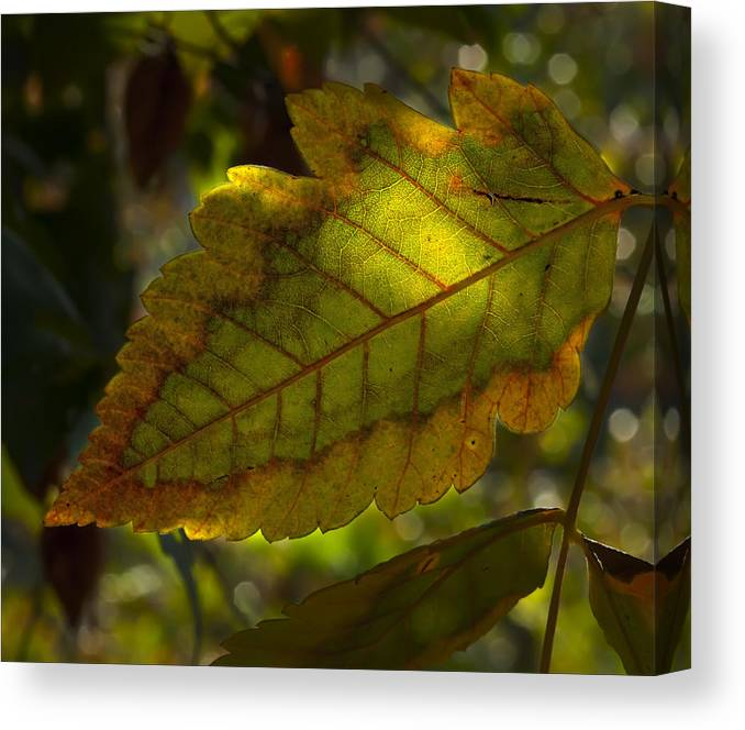 Fall Canvas Print featuring the photograph Fall Leaf 2010 by Robert Ullmann
