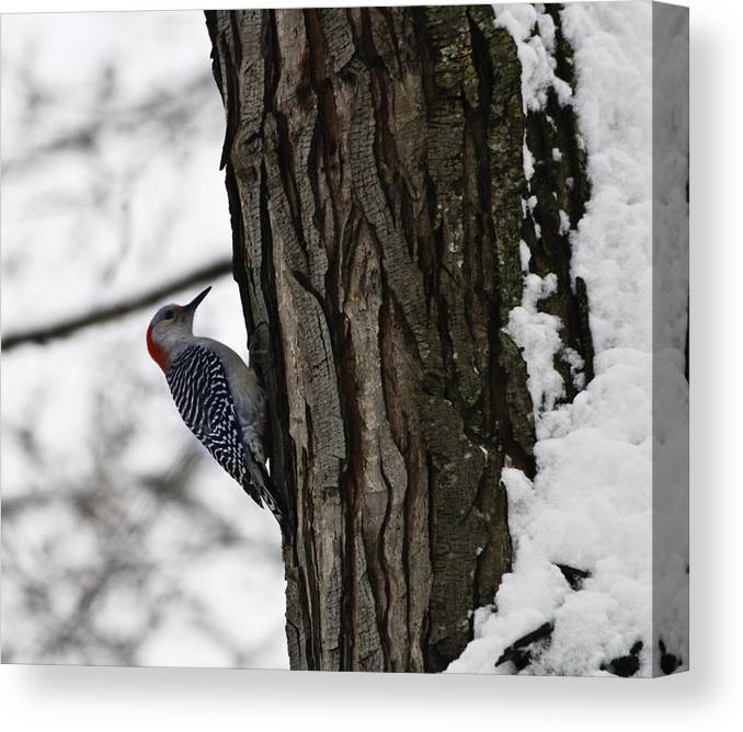 Woodpecker Canvas Print featuring the photograph Red Bellied Woodpecker No 1 by Teresa Mucha
