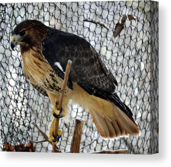Animal Canvas Print featuring the photograph Red Tail Hawk by Eva Thomas