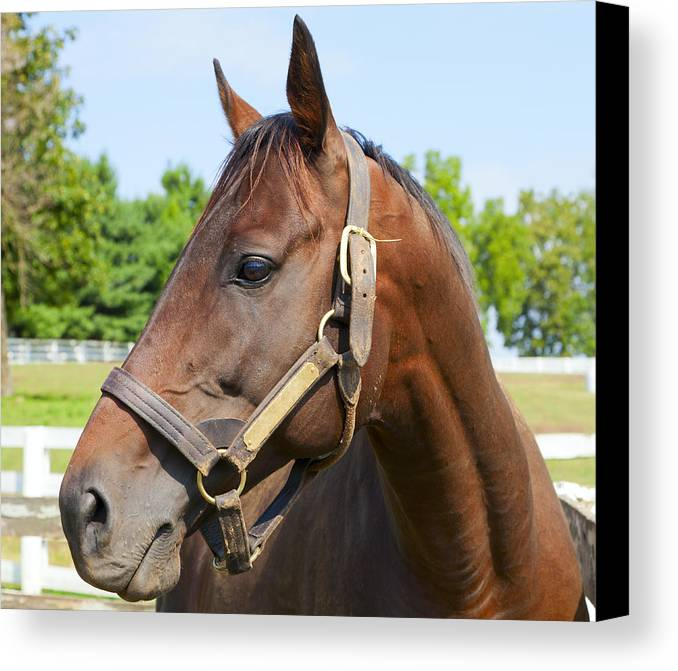 Horse Canvas Print featuring the photograph Horse On A Farm by Alexey Stiop