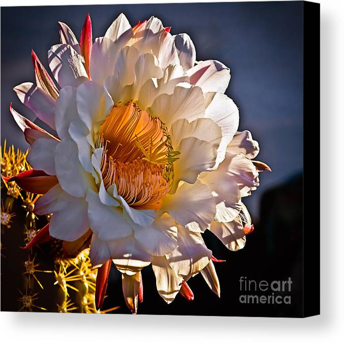 Arizona Canvas Print featuring the photograph Argentine Giant II by Robert Bales