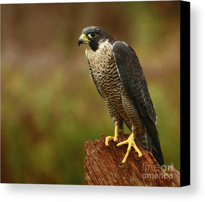 Majestic Canvas Print featuring the photograph Majestic Peregrine Falcon In The Rain by Inspired Nature Photography Fine Art Photography