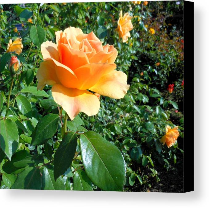 Rose Canvas Print featuring the photograph My Love Is Like A Rose by Kay Gilley