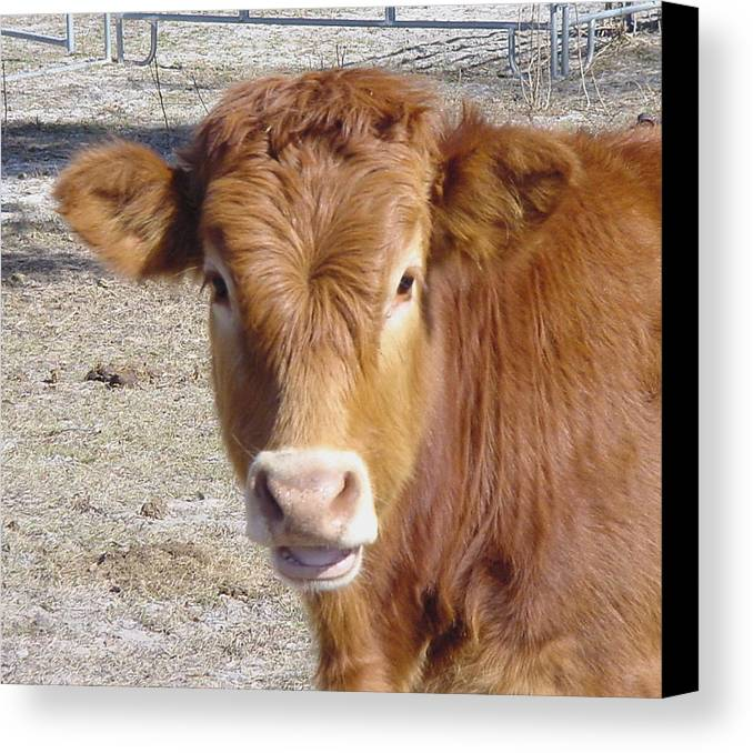 Farm Canvas Print featuring the painting Calf Smiles by Debbie May