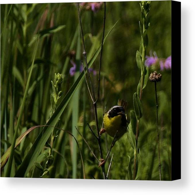 Nature Canvas Print featuring the photograph Common Yellow Throat by Eric Noa