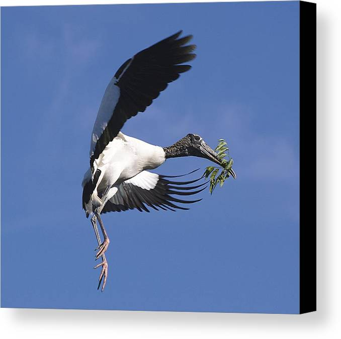 Stork Canvas Print featuring the photograph On A Mission by Kenneth Albin
