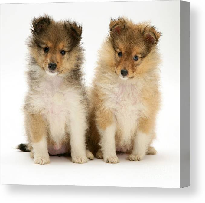 Sheltie Puppies Canvas Print Canvas Art By Jane Burton