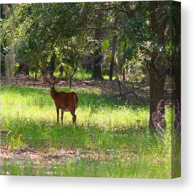 Nature Canvas Print featuring the photograph Doe In The Woods by April Wietrecki Green