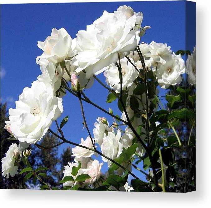 Roses Canvas Print featuring the photograph The Iceberg Rose by Will Borden