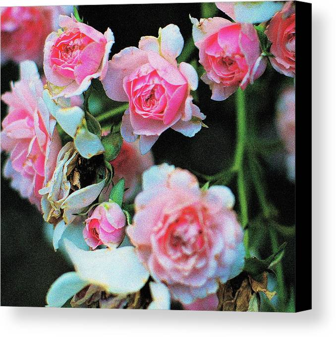 Roses Canvas Print featuring the photograph A Time For Roses by Ira Shander