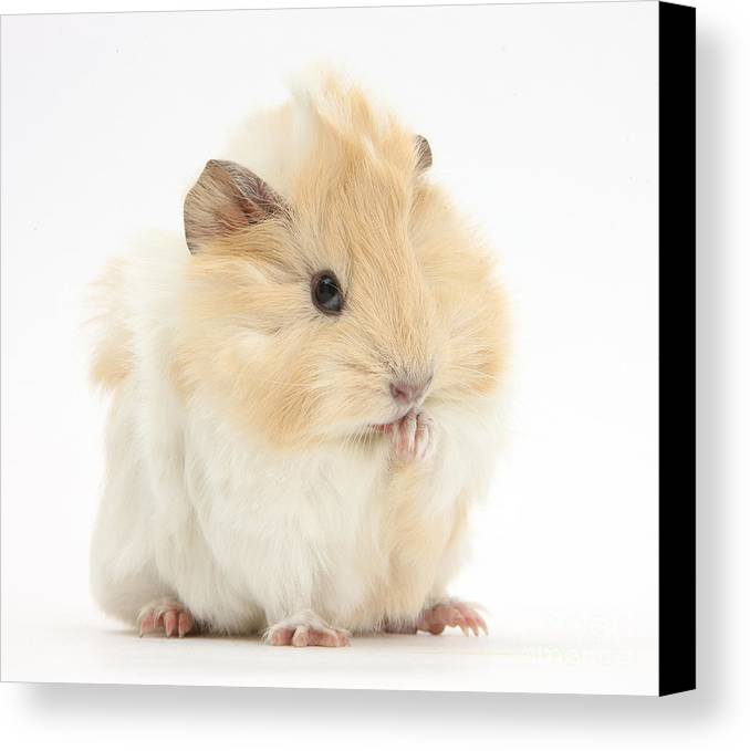 Animal Canvas Print featuring the photograph Guinea Pig Washing Paw by Mark Taylor