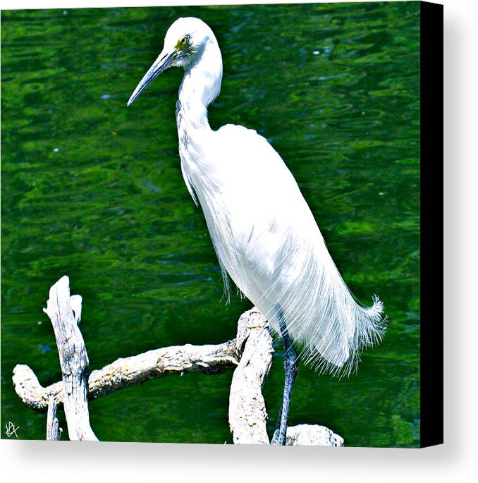 Lacy Feather Canvas Print featuring the photograph Lacy Feather by Debra   Vatalaro