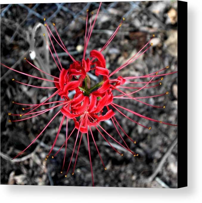 Flower Canvas Print featuring the photograph Spider Lily by Neil McCarver