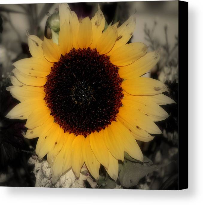 Sunflower Canvas Print featuring the photograph Sun-faded by Trudi Southerland