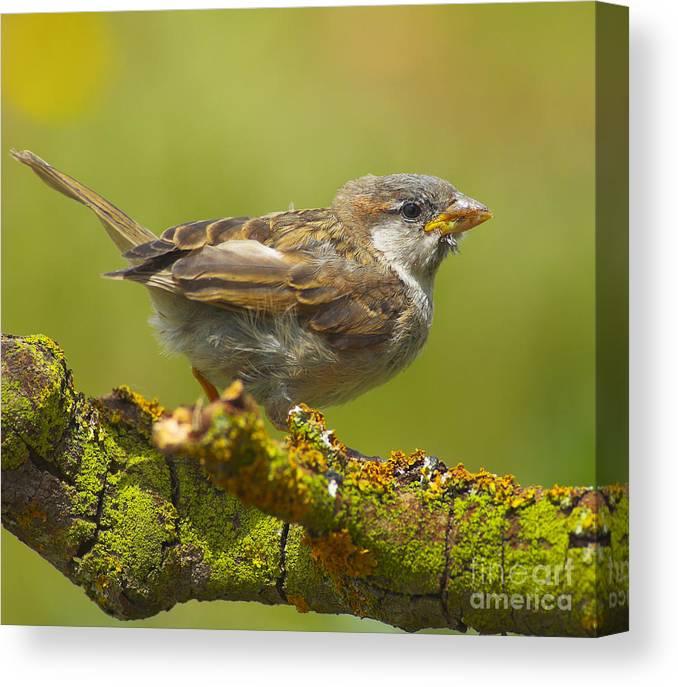 Birds Canvas Print featuring the photograph Gorrion House Sparrow by Guido Montanes Castillo