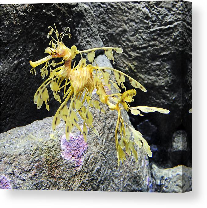 Leafy Seadragon Canvas Print featuring the photograph Leafy Seadragon by Vivian Christopher