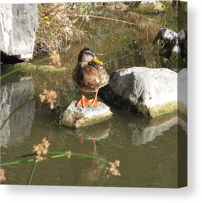 Duck Canvas Print featuring the photograph Ducky by Kathy Roncarati