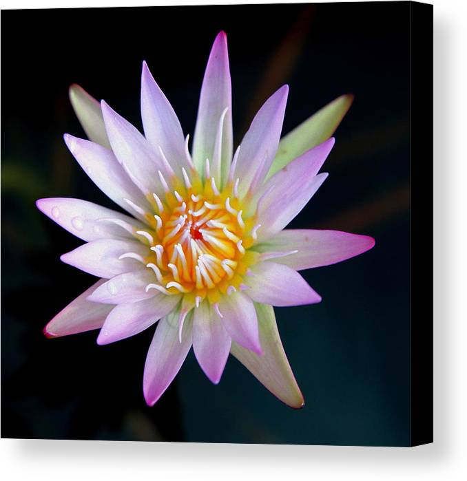 Water Lillies Canvas Print featuring the photograph Soft Lullabye by Karen Wiles