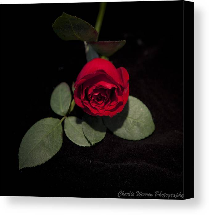 Rose Canvas Print featuring the photograph The Rose by Charles Warren