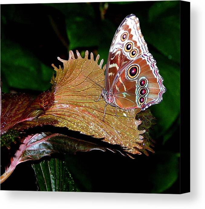 Butterfly Canvas Print featuring the photograph Blue Morph Butterfly by Mindy Newman