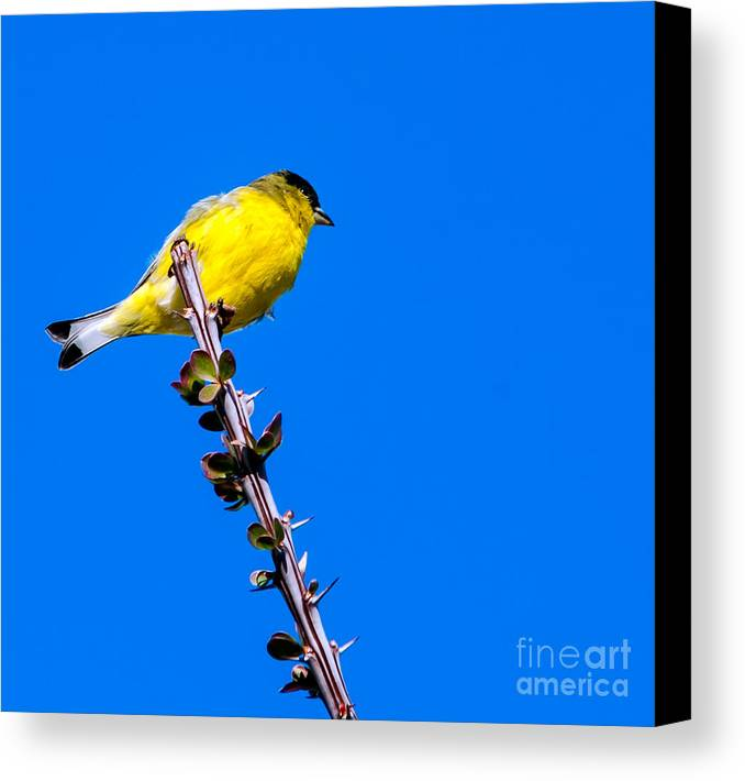 Arizona Canvas Print featuring the photograph Lesser Goldfinch by Robert Bales