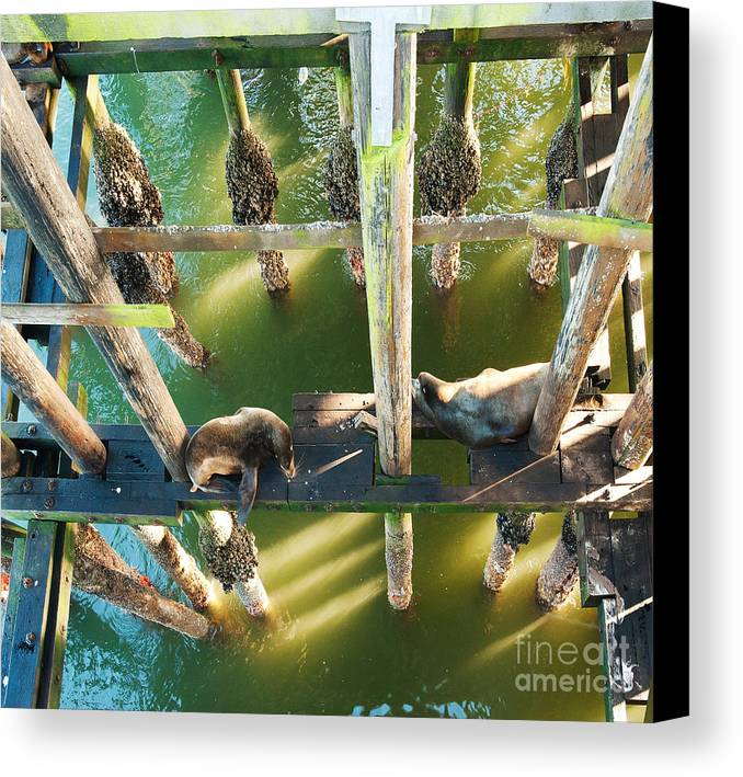 California Sealions Canvas Print featuring the photograph California Sealions Under The Santa Cruz Pier by Artist and Photographer Laura Wrede