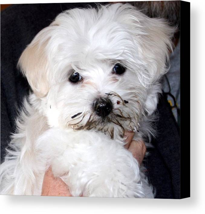 Maltese Puppy Dog Canvas Print featuring the photograph Muddy Maltese by BJ Redmond