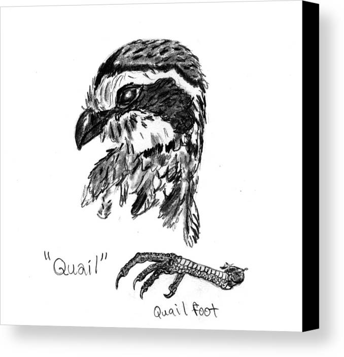 Quail Canvas Print featuring the drawing Quail Head With Foot by Kevin Callahan