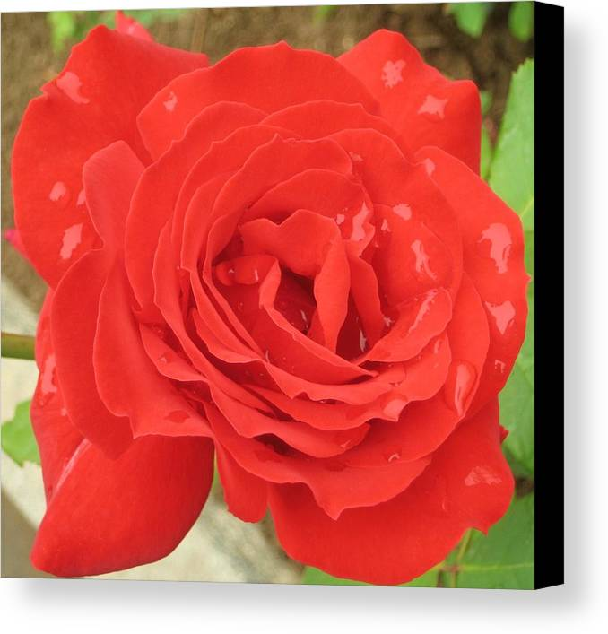 Rose Canvas Print featuring the photograph Rose With Dew by Angela Siener