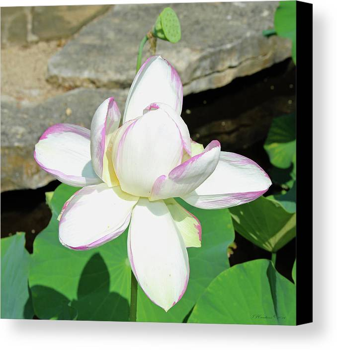 Lotus Canvas Print featuring the photograph Water Lotus by Inspirational Photo Creations Audrey Taylor