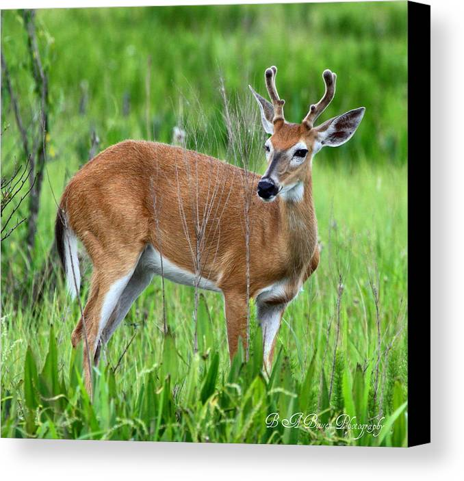 White Tail Deer Canvas Print featuring the photograph Young Buck by Barbara Bowen