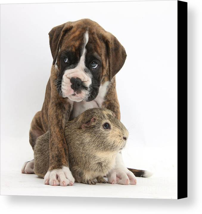 Nature Canvas Print featuring the photograph Boxer Puppy And Guinea Pig by Mark Taylor