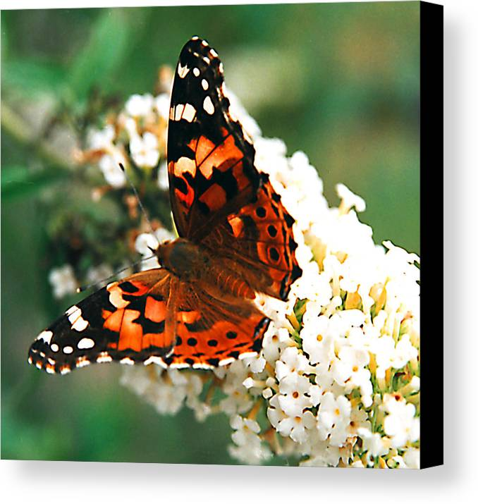 Butterfly Canvas Print featuring the photograph Butterfly Bush by Paul Trunk