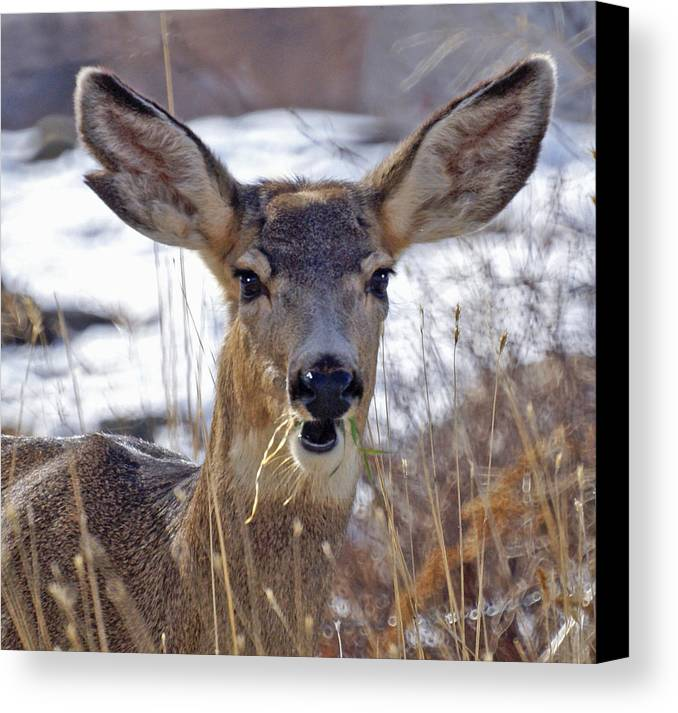 Doe Canvas Print featuring the photograph Doe by Heather Coen