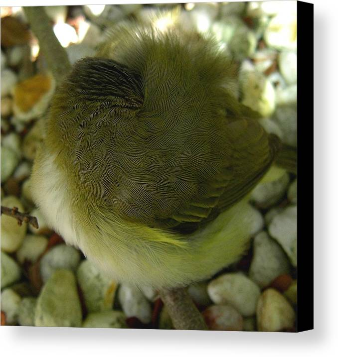 Bird Canvas Print featuring the photograph Nestling Bird by Caroline Urbania Naeem