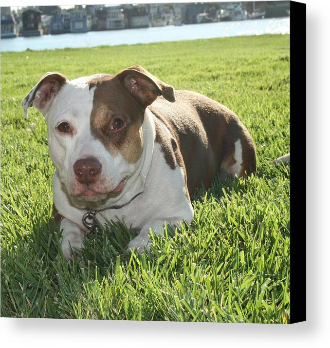 Girl Canvas Print featuring the photograph Pitbull In The Sun by Joshua Sunday