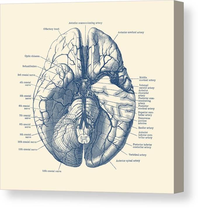 Human Brain Diagram Anatomy Poster Canvas Print Canvas Art By