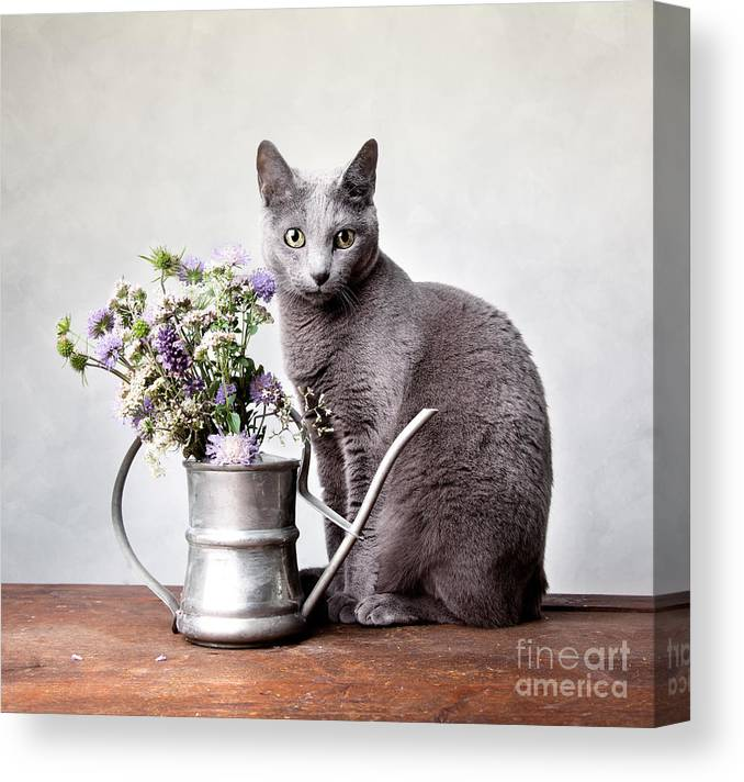 Cat Canvas Print featuring the photograph Russian Blue 02 by Nailia Schwarz
