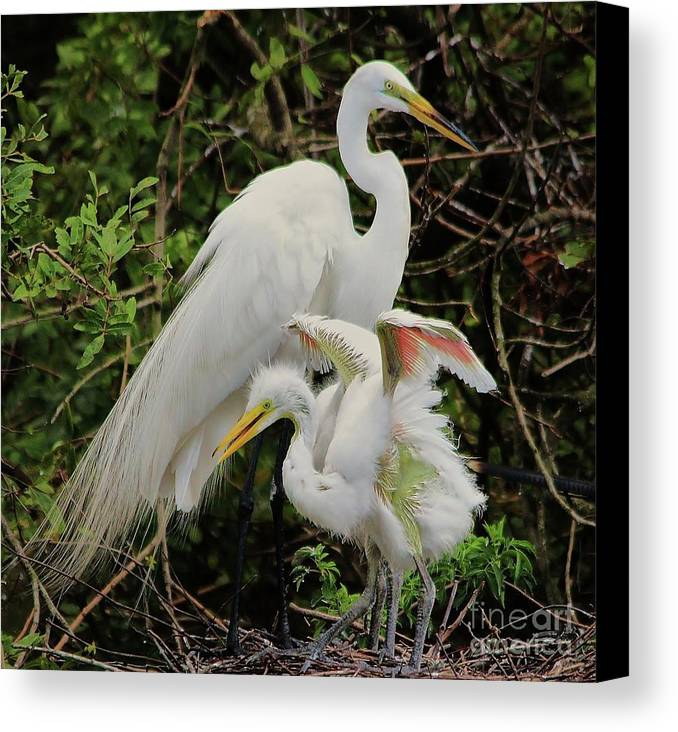 Great White Egret Canvas Print featuring the photograph Baby Pink Wings by Paulette Thomas