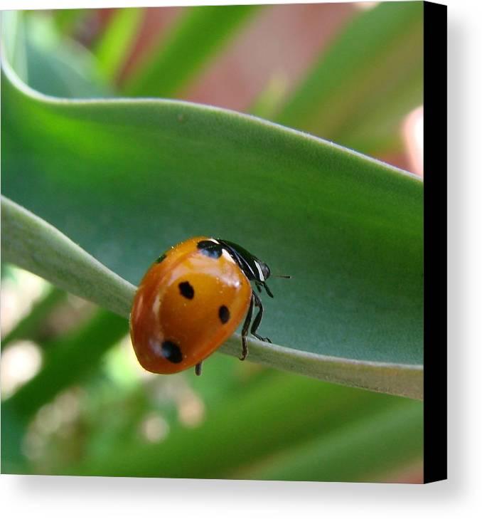 Ladybug Canvas Print featuring the photograph Ladybug by Liz Vernand