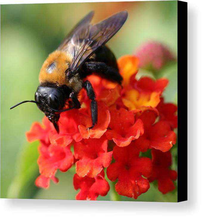 Bee Canvas Print featuring the photograph The Collector by Jason Hochman