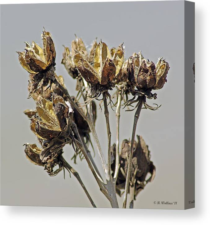 2d Canvas Print featuring the photograph Seed Pods by Brian Wallace
