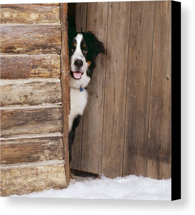Bernese Mountain Dog Canvas Print featuring the photograph Bernese Mountain Dog At Log Cabin Door by John Daniels