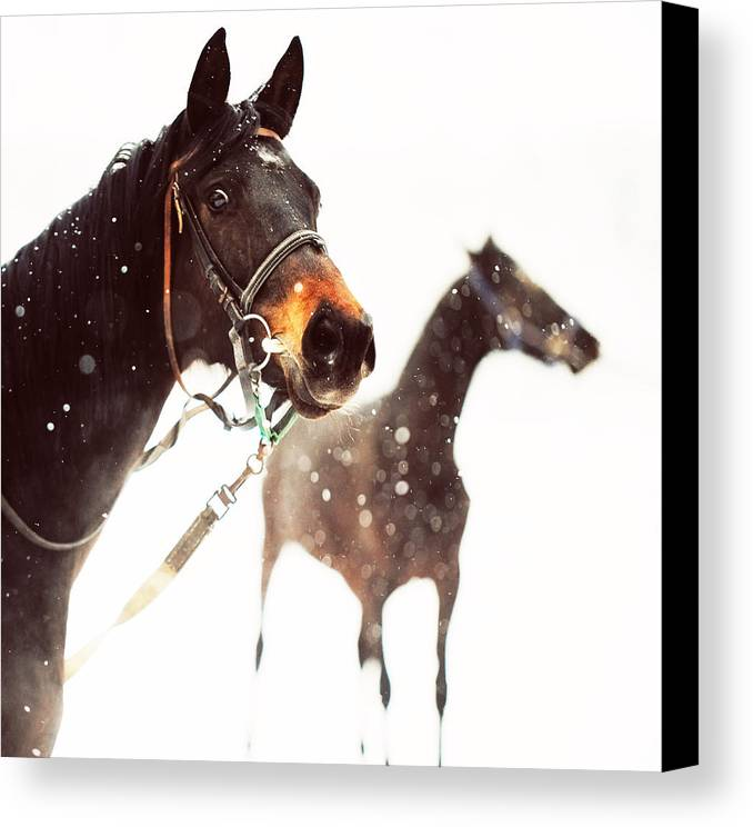 Horse Canvas Print featuring the photograph Everyone Has A Dream by Jenny Rainbow