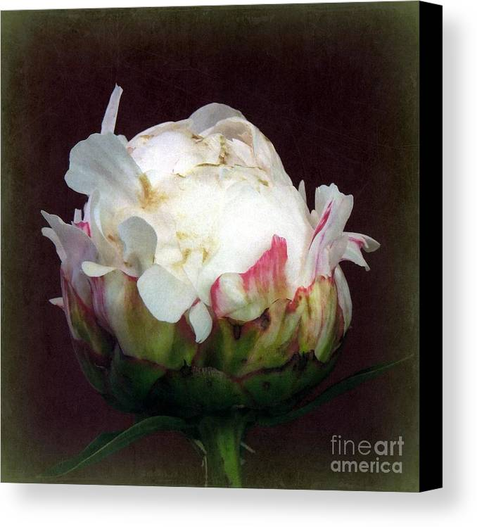 Funky Canvas Print featuring the photograph Grandmother's Peony by Renee Trenholm