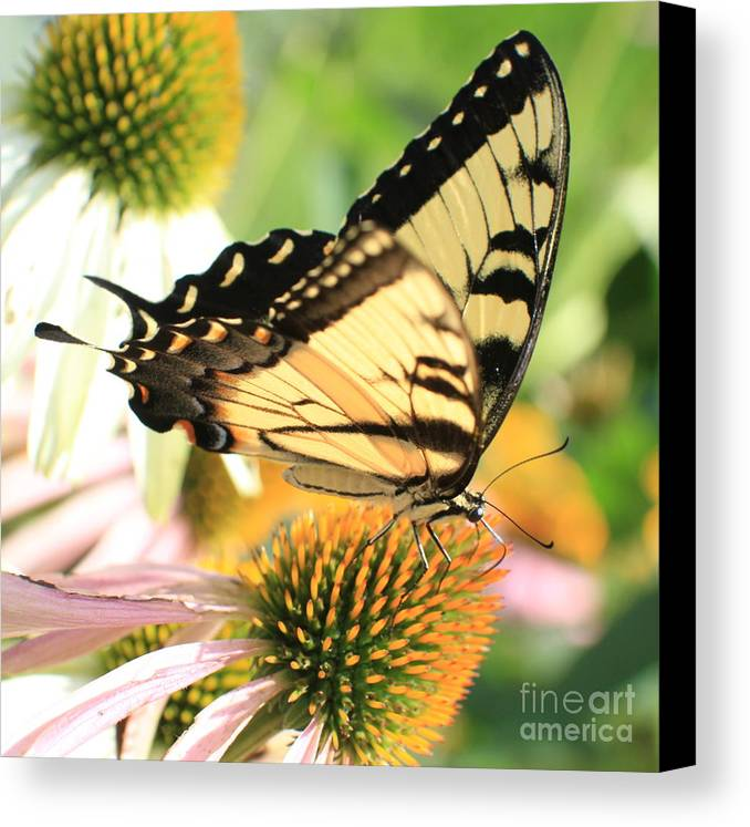 Swallowtail Butterfly Canvas Print featuring the photograph Tiger Swallowtail Butterfly by Krista Kulas