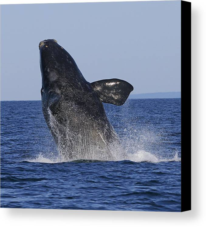 Right Whale Breach Canvas Print featuring the photograph Discovering Another Dimension by Tony Beck