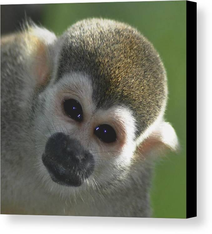 Cappucin Canvas Print featuring the photograph Monkey Face by Danielle Del Prado