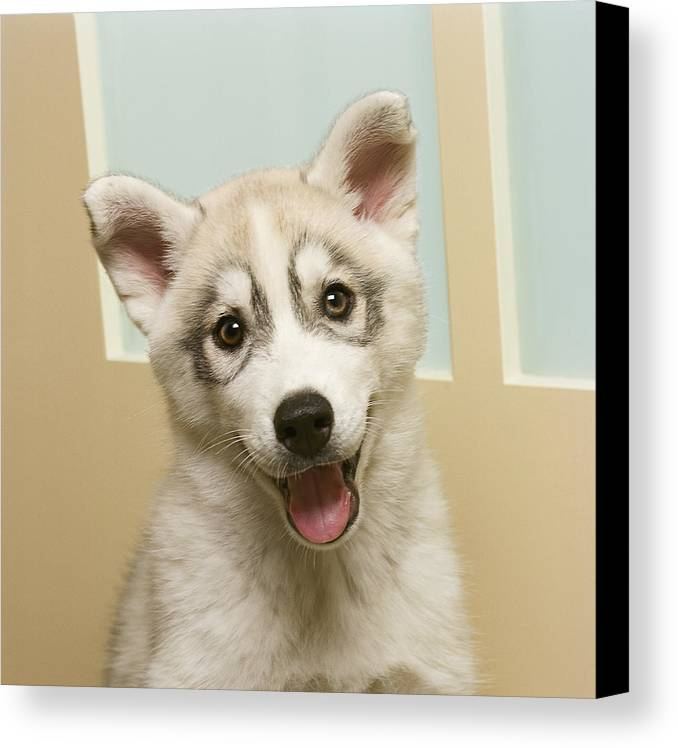 Square Canvas Print featuring the photograph Siberian Husky Puppy In Front Of Door by GK Hart/Vikki Hart